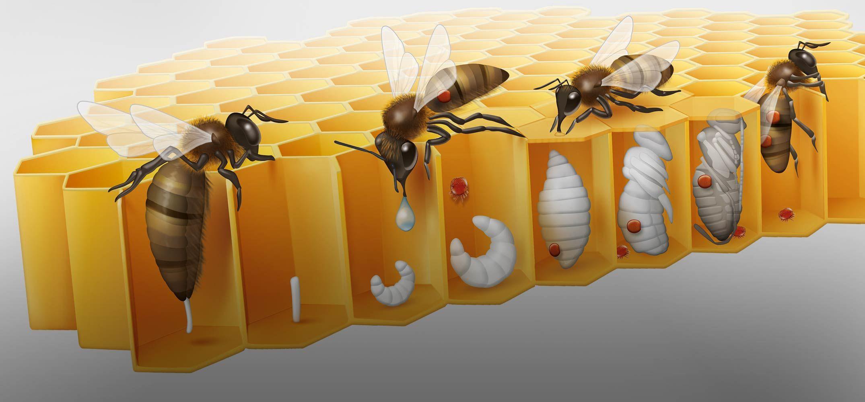 abeilles butinent du miel